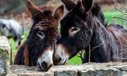 UNAM afirma que el burro no se encuentra en peligro de extinción