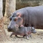 Nace otro hipopótamo de Nilo en el Zoológico de Morelia