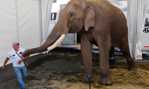 Rescatan a Big Boy, un elefante abandonado por un circo