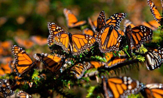 Más de 140 millones de monarcas visitan Michoacán cada año